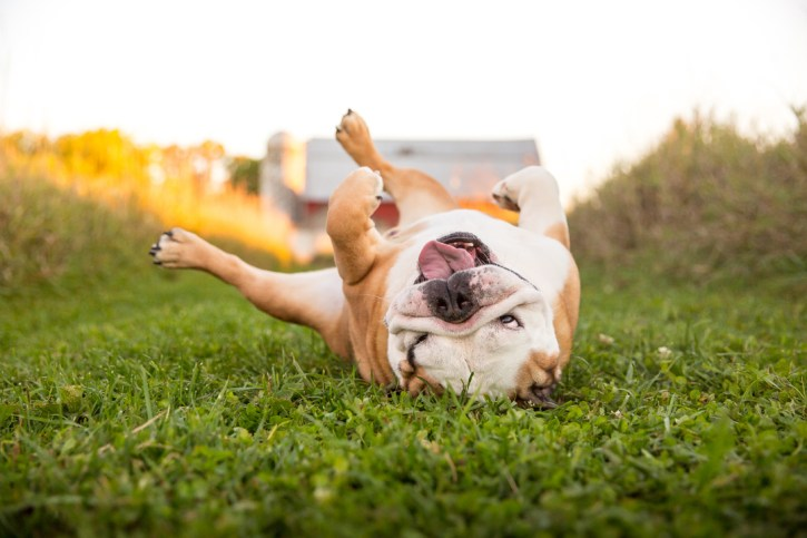 bulldog rolling on ground in front of Hudsonville barn, grumpy pups pet photography