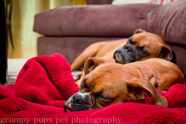 sleeping Boxers on a red blanket, grumpy pups pet photography