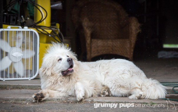 great pyrenees cools off in front of fan, grumpy pups pet photography