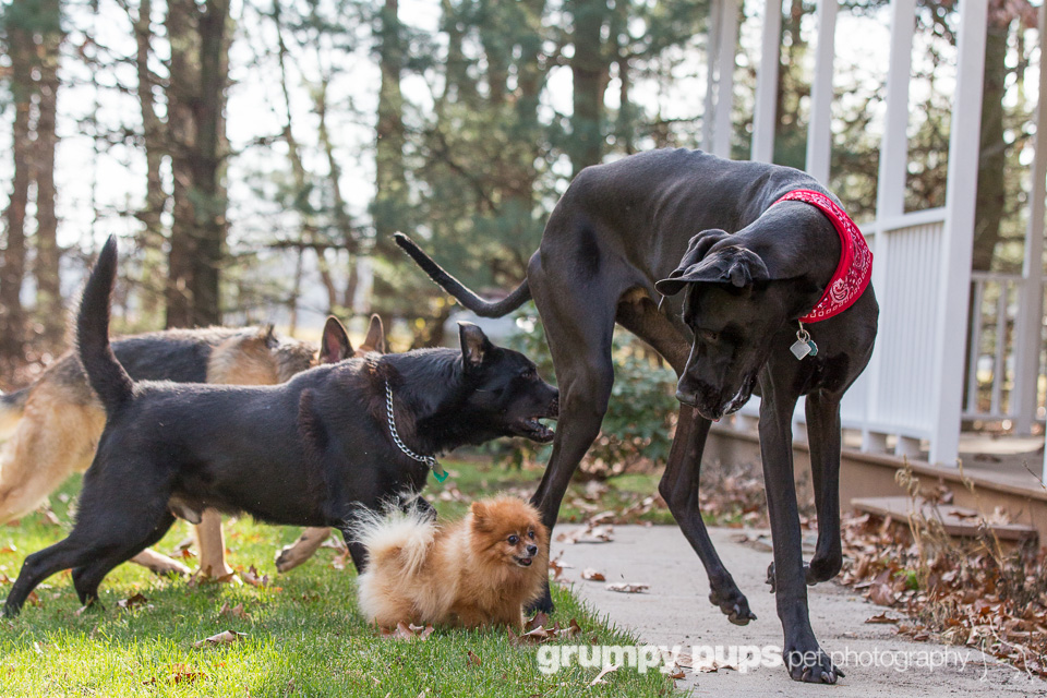 Zeus World S Tallest Dog Dogs Unleashed Great Dane