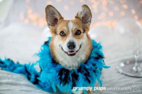 Corgi in a feather boa, Grumpy Pups Pet Photography dog party