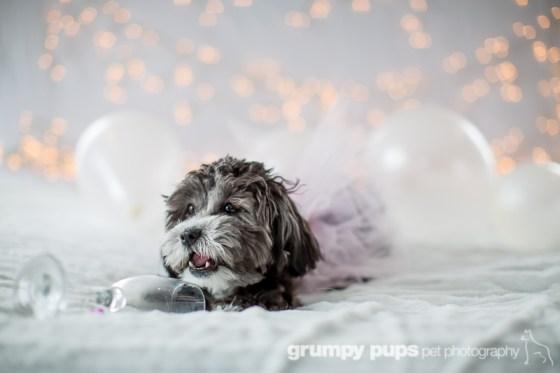 black and white daisy dog in a pink tutu with champagne glass, Grumpy Pups Pet Photography dog party