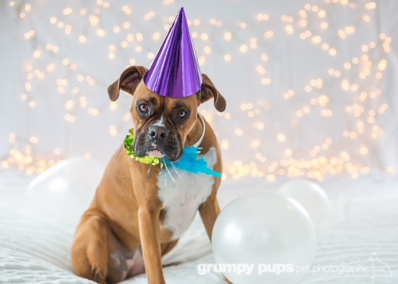 boxer dog with balloons and purple party hat, Grumpy Pups Pet Photography dog party