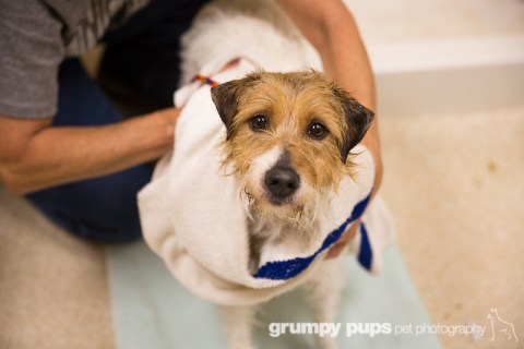 Jack Russell Terrier gets a bath at Kent County Animal Shelter, grumpy pups pet photography