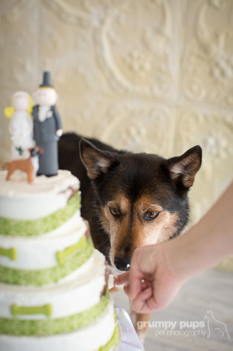 dog about to lick wedding cake, grumpy pups pet photography