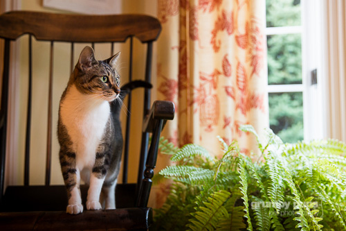 cat on a rocking chair, cat photography by grumpy pups pet photography