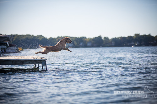 yellow lab dock diving, dog photography by grumpy pups pet photography