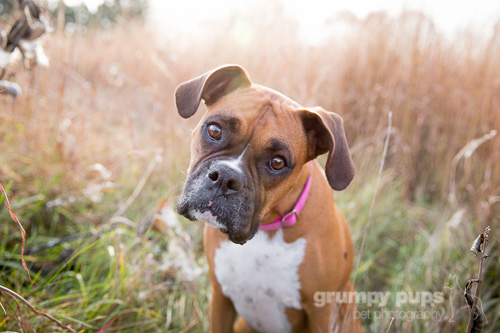 boxer dogs in fall color, grumpy pups pet photography