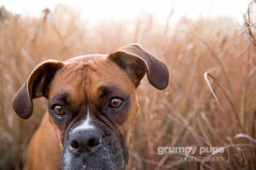 boxer dog in fall colors grumpy pups pet photography