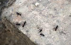 mrówki-corneco-ants