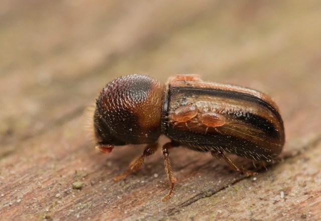 Drwalnik paskowany (Trypodendron lineatum)