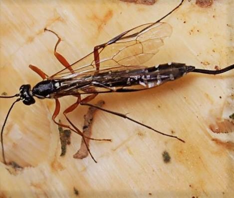 kruszel czarny owad drewna