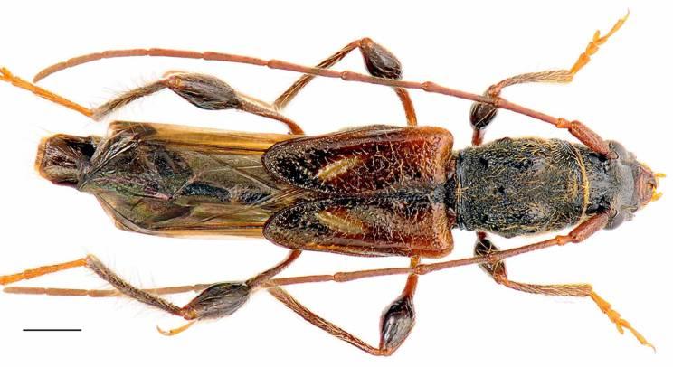 Kurtek mały molorchus minor