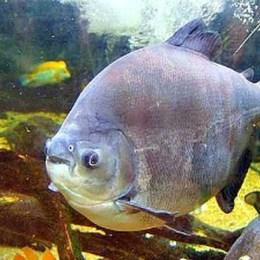 Convênio possibilitará criação de banco genético de peixes da Amazônia