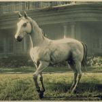 White Arabian Horse Rdr2 Red Dead Online Horses Database Statistics Red Dead Redemption 2