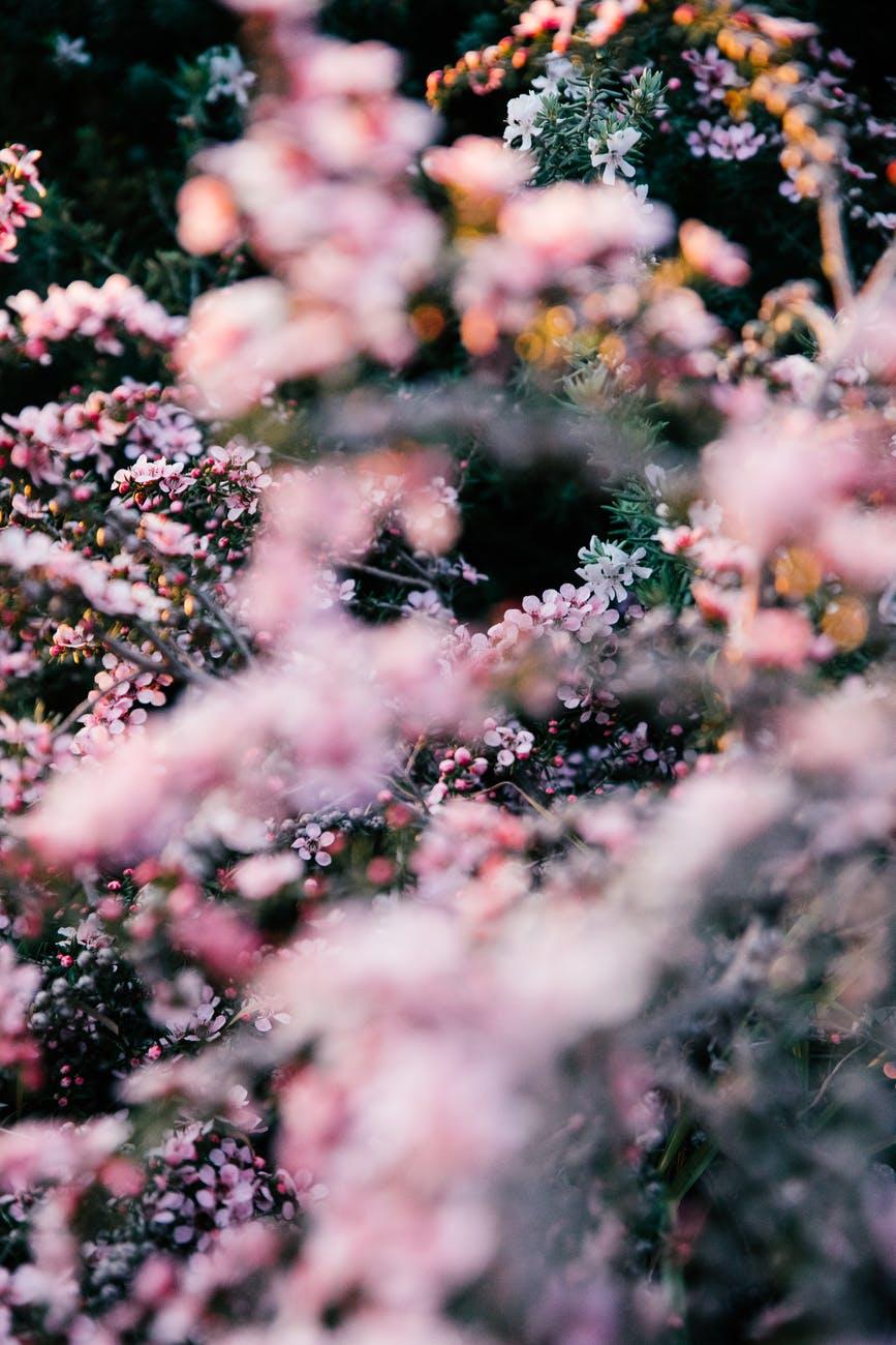 blooming pink bushes in summer garden