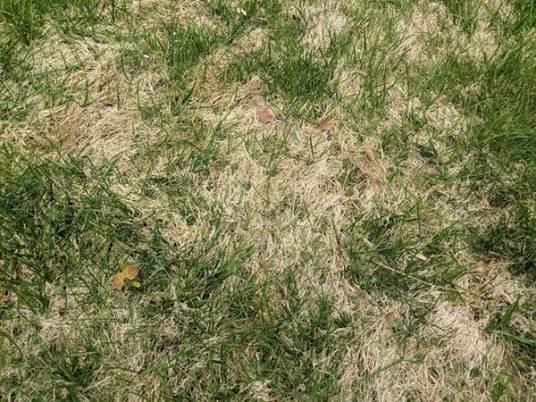 Creeping Bentgrass