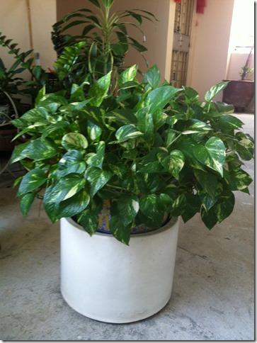 My House Plant Series–Epipremnum Aureum- Golden Pothos Plant