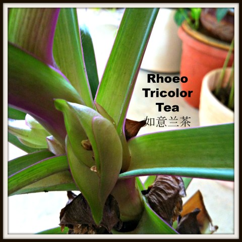 Purple is mysterious, purple is nobly and a purple drink is definitely lovely! - Rhoeo Tricolor Tea (如意兰茶,蚌兰花茶,红竹叶茶)