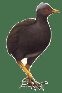 Sasangat (Micronesian Megapode)