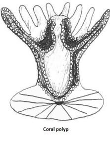 2a coral polyp copy