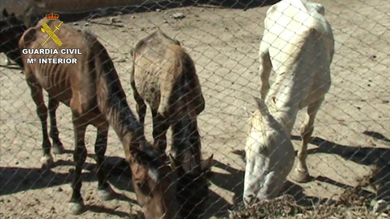 La Guardia Civil detiene a una persona por el maltrato de más de 30 caballos