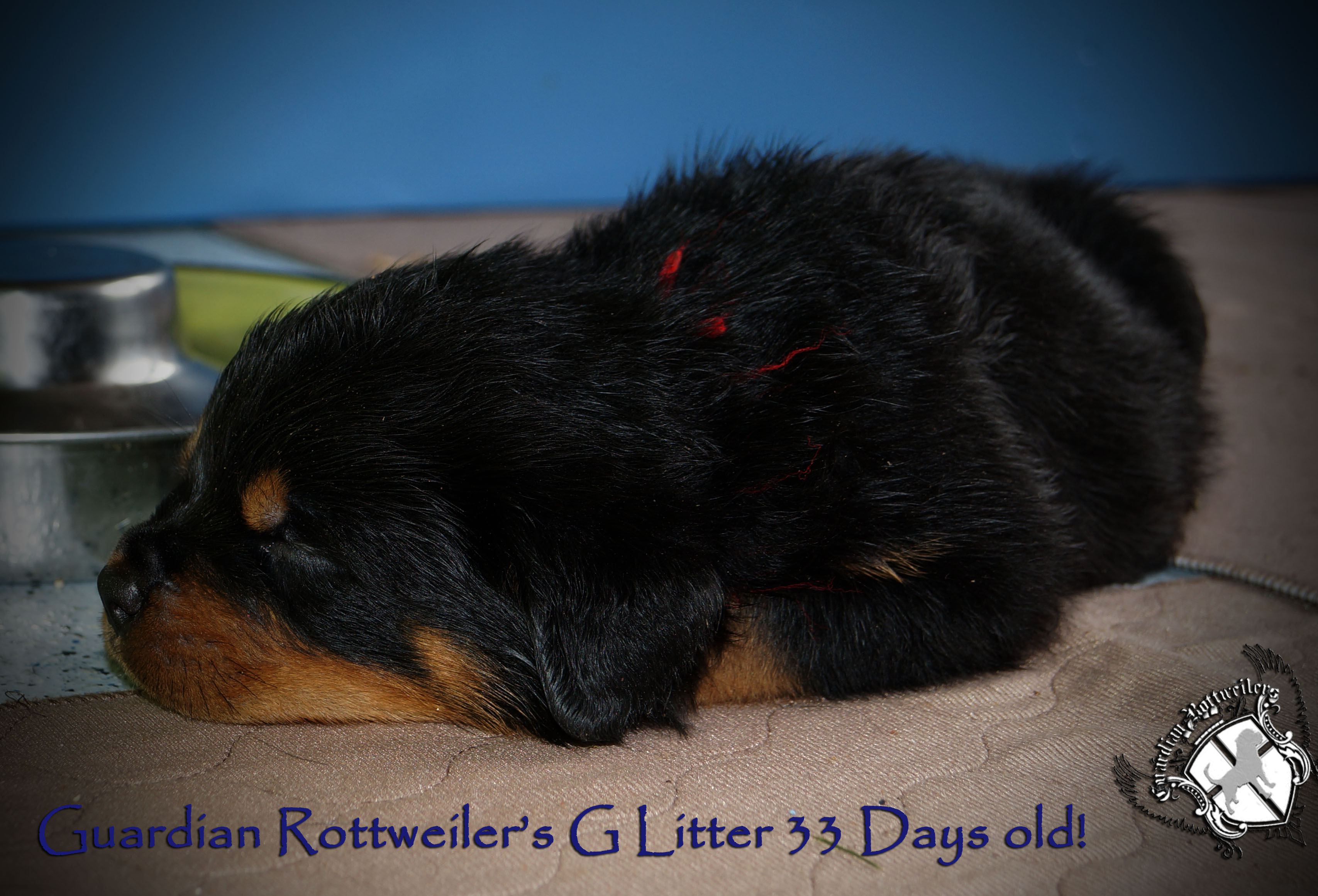 Amazing Rottweiler Chubby Adorable Dog - glitter33days04  Trends_61850  .jpg