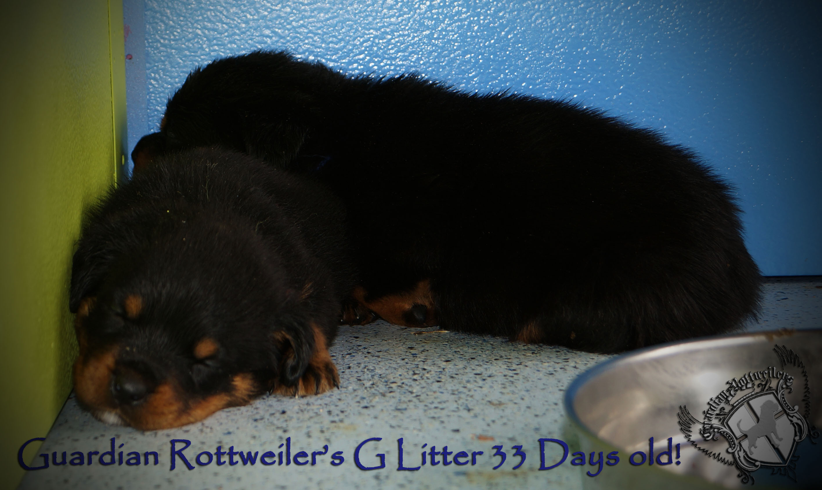 Amazing Rottweiler Chubby Adorable Dog - glitter33days05  Trends_61850  .jpg