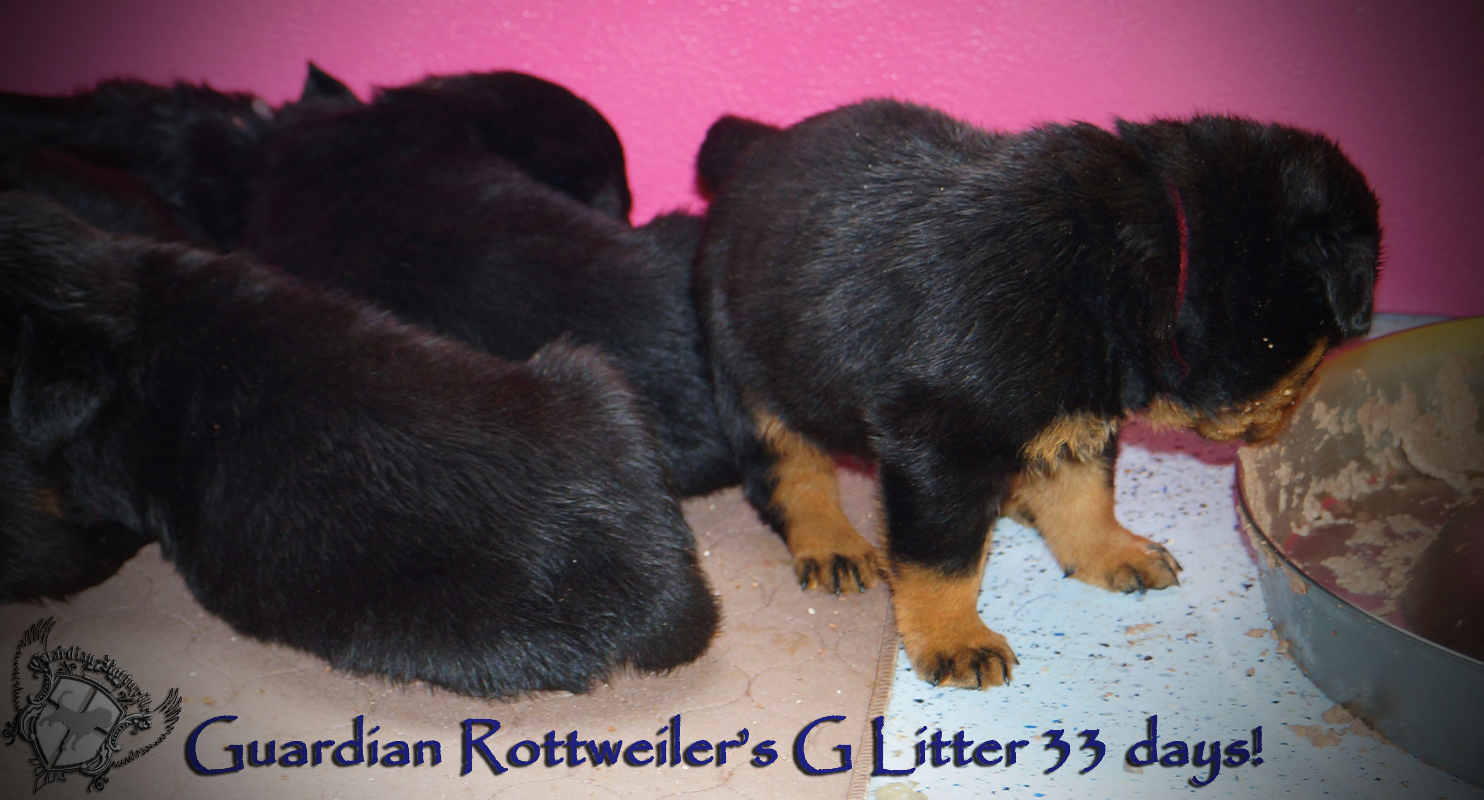 Best Rottweiler Chubby Adorable Dog - glitter33days06  Image_19649  .jpg