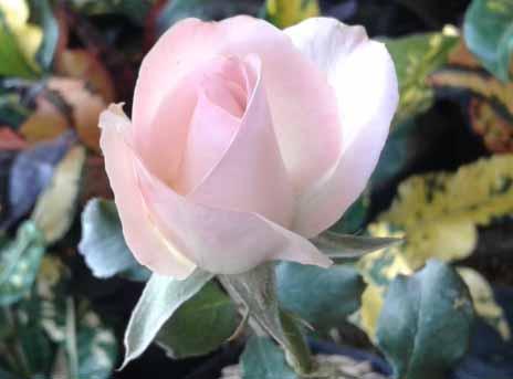 harga dan jenis bibit bunga mawar rainbow