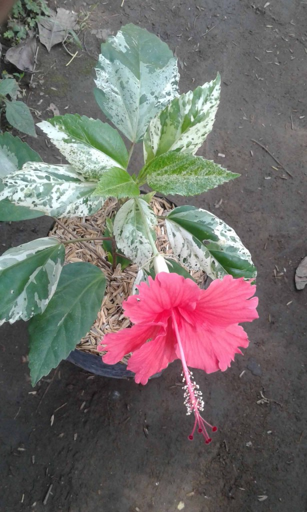 contoh gambar bunga sepatu variegata