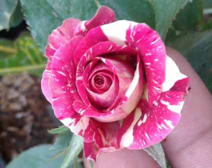 jual bibit tanaman mawar batik