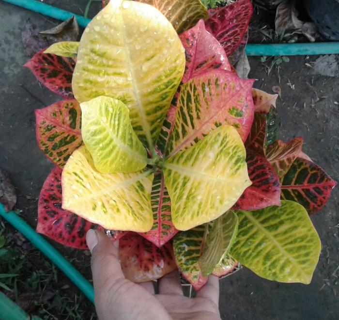 manfaat tanaman puring