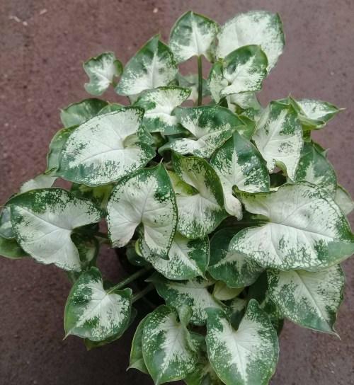tersedia tanaman hias murah dan cantik