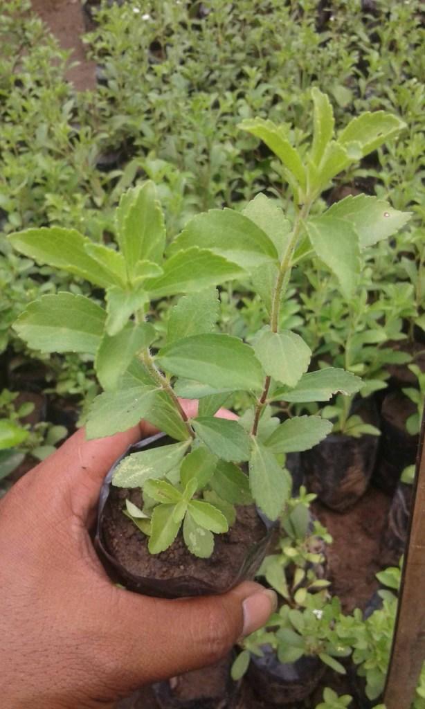 contoh Gambar pohon stevia rebaudiana