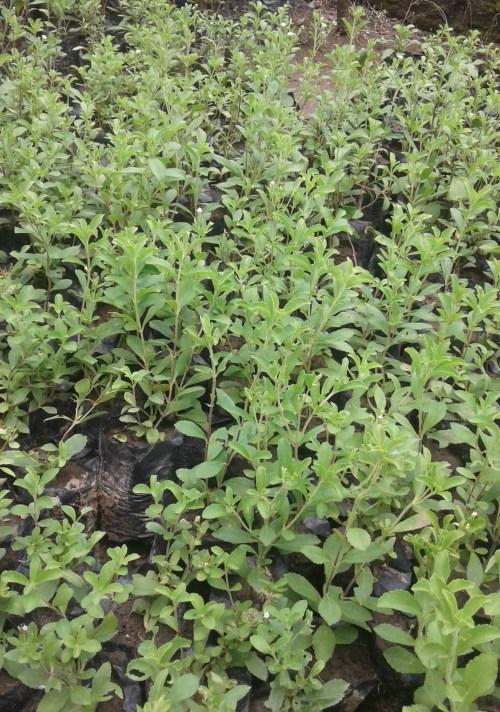 Jual bibit tanaman stevia unggulan harga terjangkau