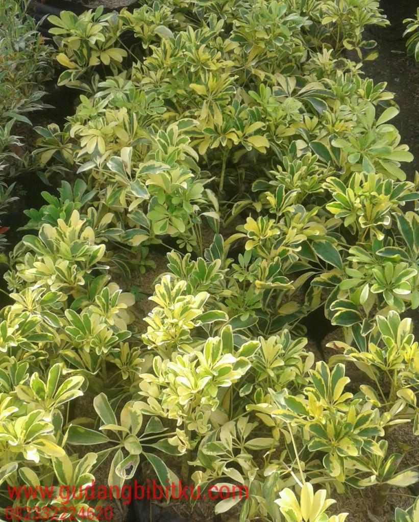 harga tanaman walisongo