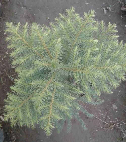 jual tanaman cemara norfolk berkualitas