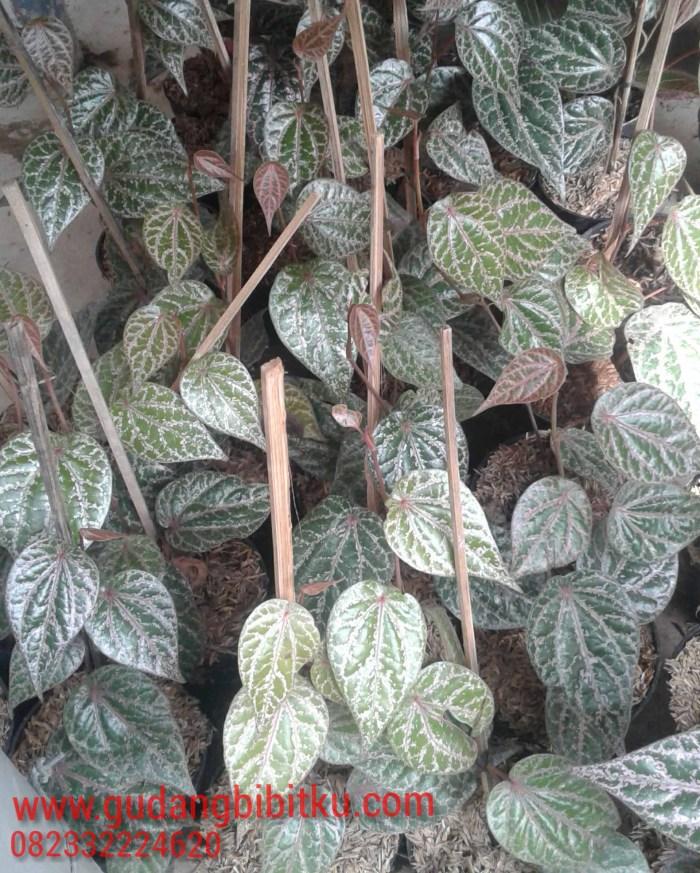 pengepul daun sirih