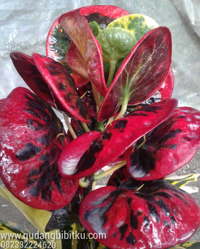 harga bunga puring import