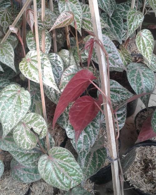 jual daun sirih merah di bekasi
