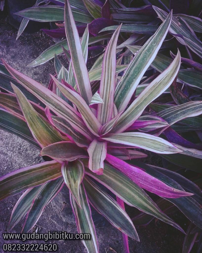 Manfaat tanaman adam hawa ungu