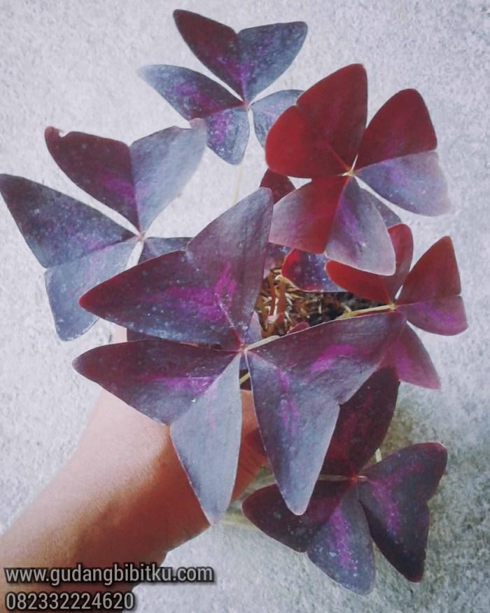 Bunga kupu kupu merah