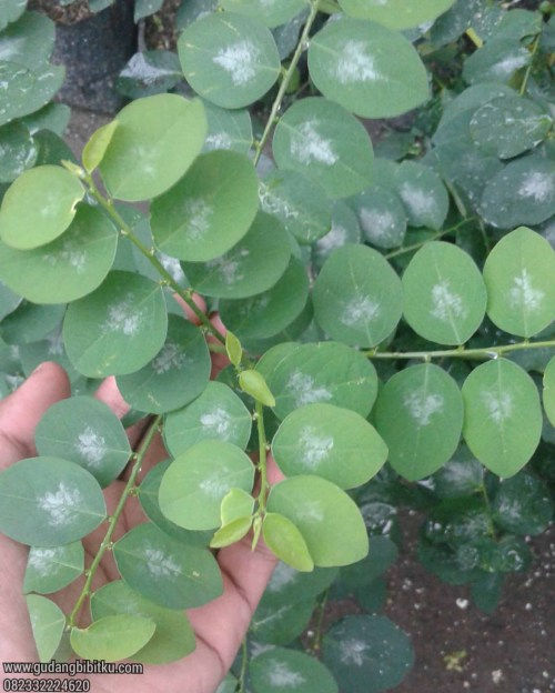 Manfaat daun katuk untuk ibu menyusui