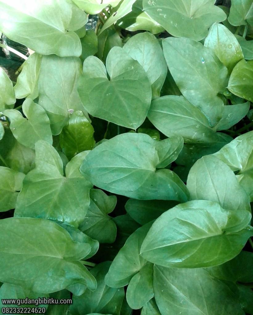 Harga tanaman keladi tikus