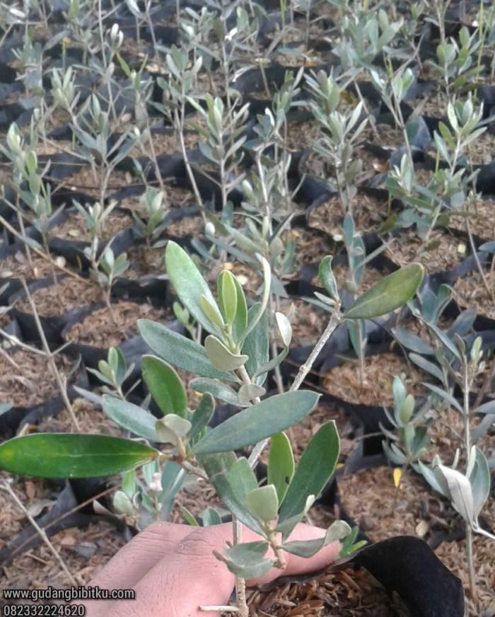 Harga pohon tin dan zaitun
