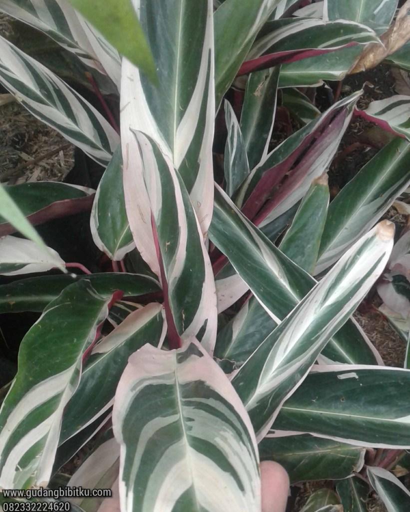 Harga calathea multicolor
