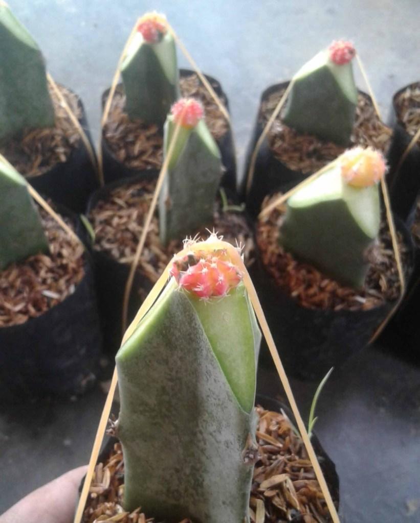 Kaktus grafting gymno