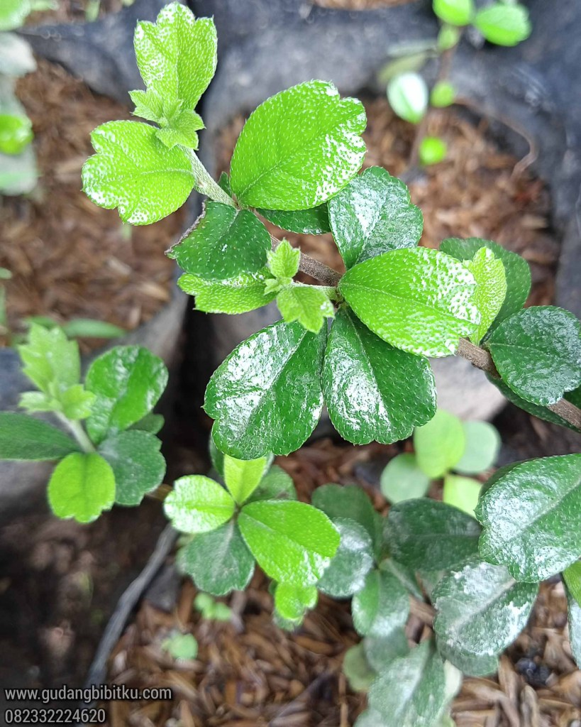Jenis bahan bonsai