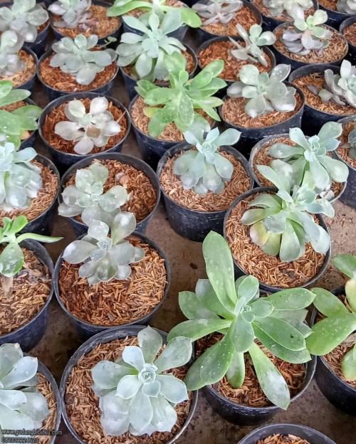 Manfaat tanaman sukulen
